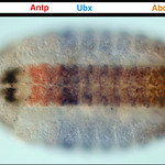 Drosophila embryo, stage 15, immunostained with mouse monoclonals to Scr (black), Antp (red), Ubx (blue), and ABd-B (brown).  Anterior is to the left.  Ventral view.  Originally photgraphed  ...