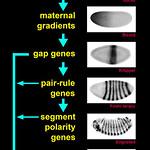 Drosophila segmentation hierarchy.