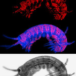 Parhyale Musle DsRed transgenic.  Top panel is Muscle DsRed expression.  Bottom panel is DIC image.  Middle panel is an overlay in which the DIC image has been made blue.  Imaged using a Zei ...